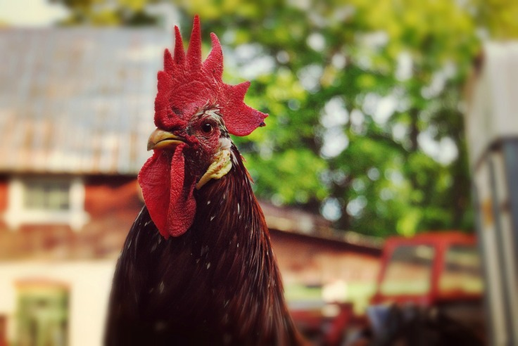 rooster-853414_1920