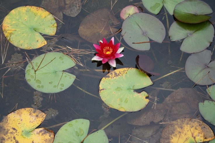 water-lily-1179975_960_720