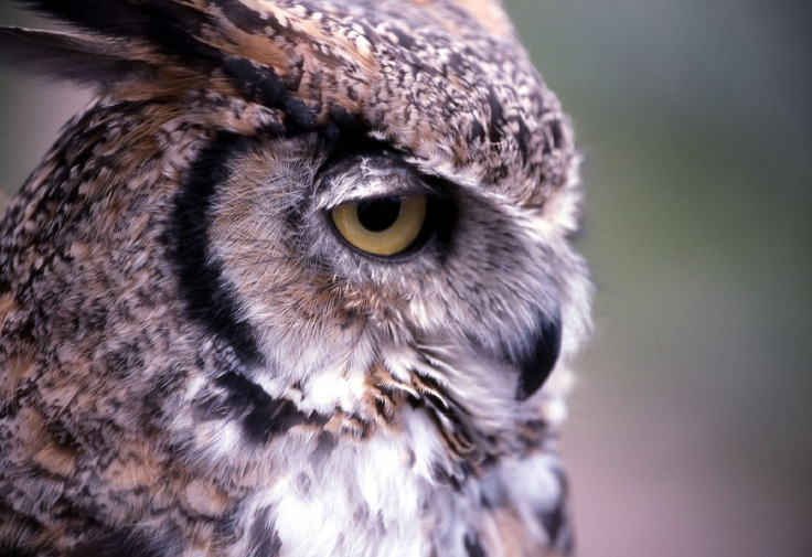 great-horned-owl-1106379_1280